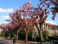 Kirschblüten(träume)bäume - Bild 17: Ferienwohnung Eggesin auf der Insel Borkum ab 23.10.2016 frei