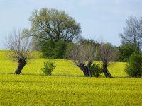 Die Rapsblüte und die Kopfweiden gehören im Frühjahr zum charakteristischen Landschaftsbild - Bild 2: Böhrs Hoff Fehmarn Ferienwohnung im Landhausstil ideal für Hundebesitzer