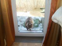 Eine Ziege des Nachbarn kommt schon mal zu Besuch - Bild 5: Grüne Urlaubs-Insel im Wattenmeer *** Radmokerhus Pellworm