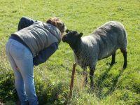 Man kann einige Schafe streicheln - Bild 11: Grüne Urlaubs-Insel im Wattenmeer *** Radmokerhus Pellworm